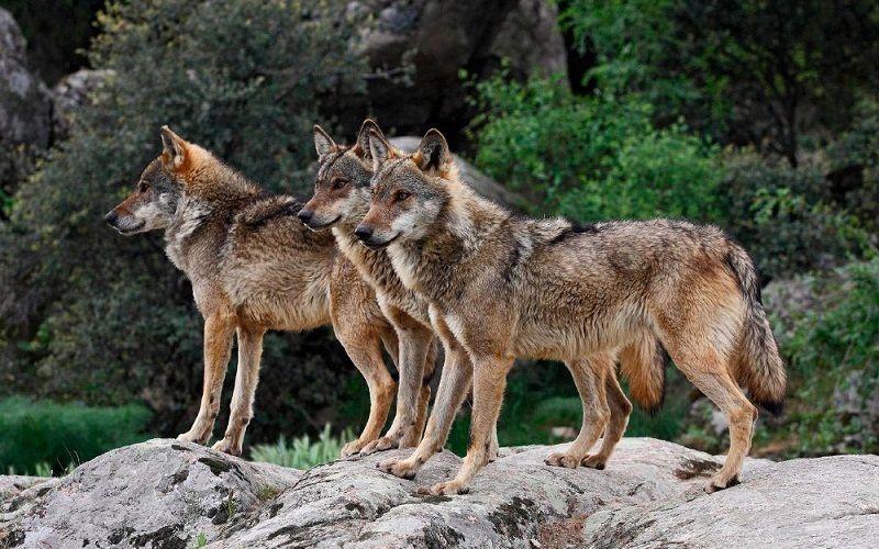 Ataques del lobo ibérico al ganado, un problema para los ganaderos afectados